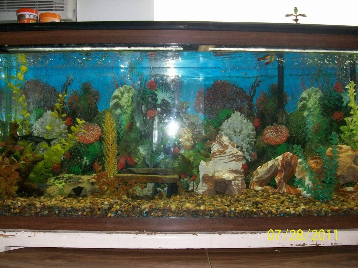60 gallons freshwater fish tank (mostly fish and non-living decorations) - This is one out of three of my fish tanks. This tank is home to a kuhli loach, african dwarf frog, chinese golden algae eater, iridescent shark, bronze cory cat, mystery snail, trumpet snails, Polka Dot Pictus, iridescent shark, and 3 sunburst. 60 gallon fish tank.