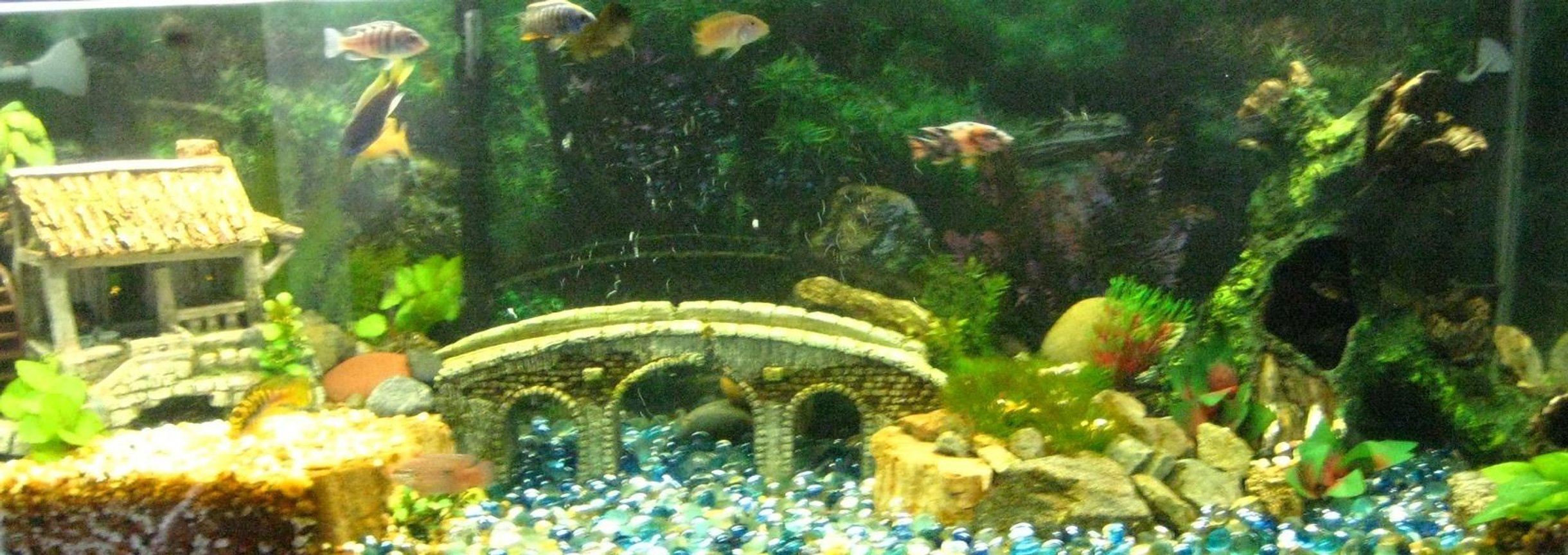 50 gallons freshwater fish tank (mostly fish and non-living decorations) - 50 gal african cichlid tank 11 fish in total several different species from lake malawi 60 gal total filtration