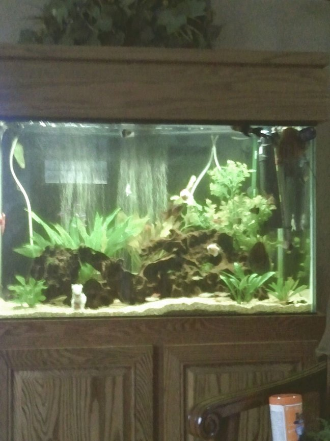 66 gallons freshwater fish tank (mostly fish and non-living decorations) - Full view of 66 gallon. All plants are live exception of large one in back right corner. Forgive quality of picture. Android phone takes marginal picture. In the image there is also the best chair in the house to watch the fish.