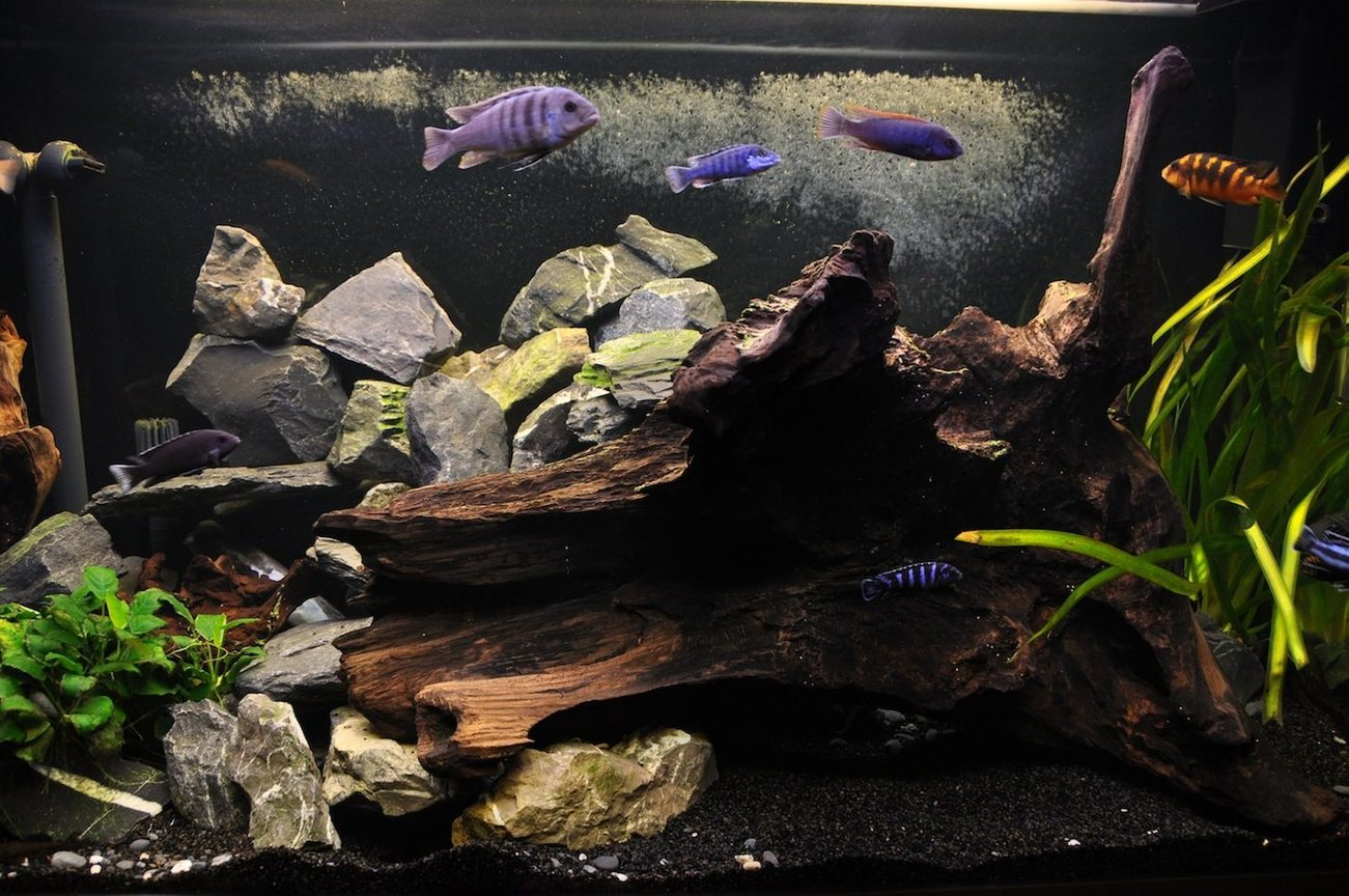 85 gallons freshwater fish tank (mostly fish and non-living decorations) - My new cichlid malawi tank.