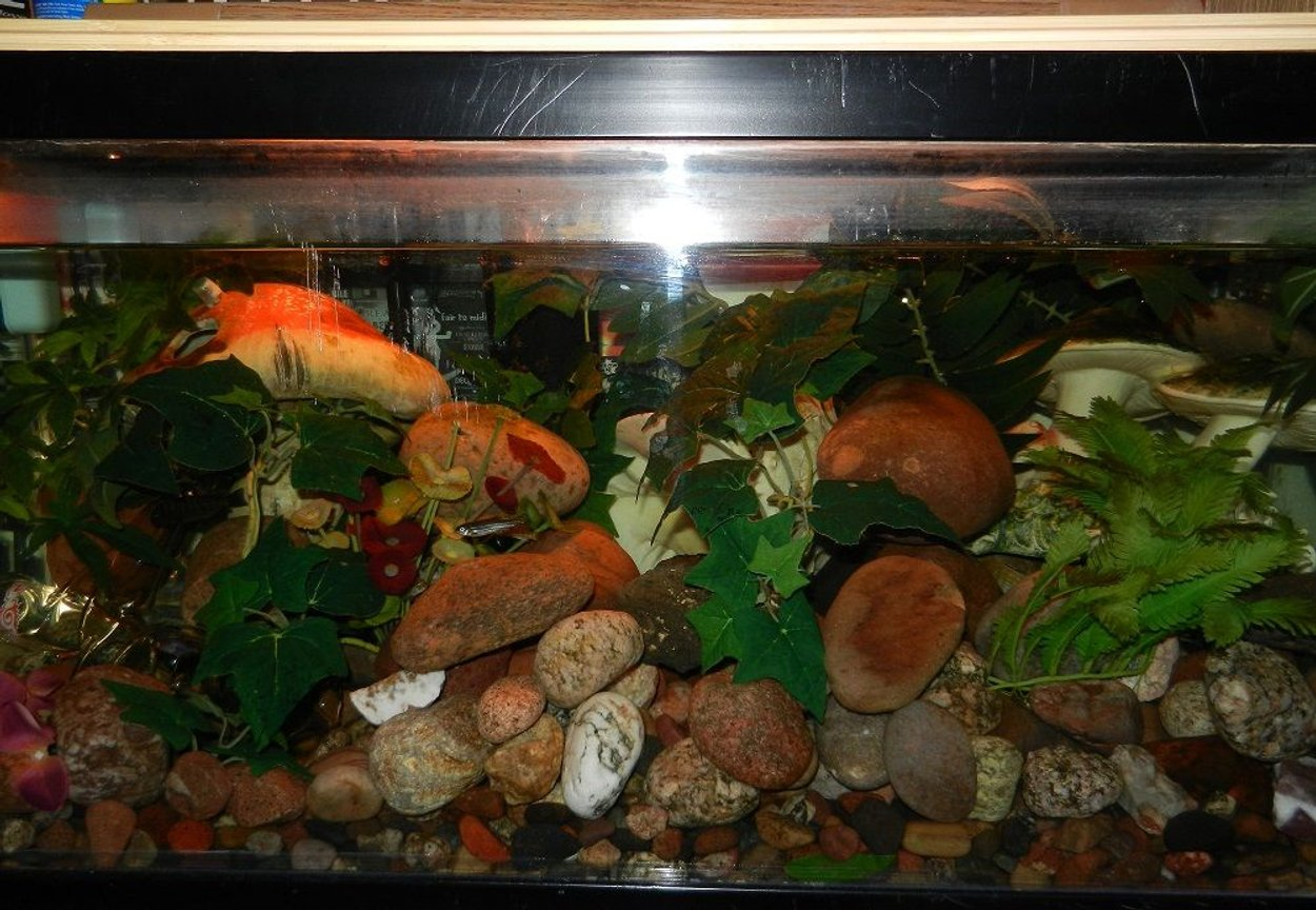 62 gallons freshwater fish tank (mostly fish and non-living decorations) - Shroom tank
