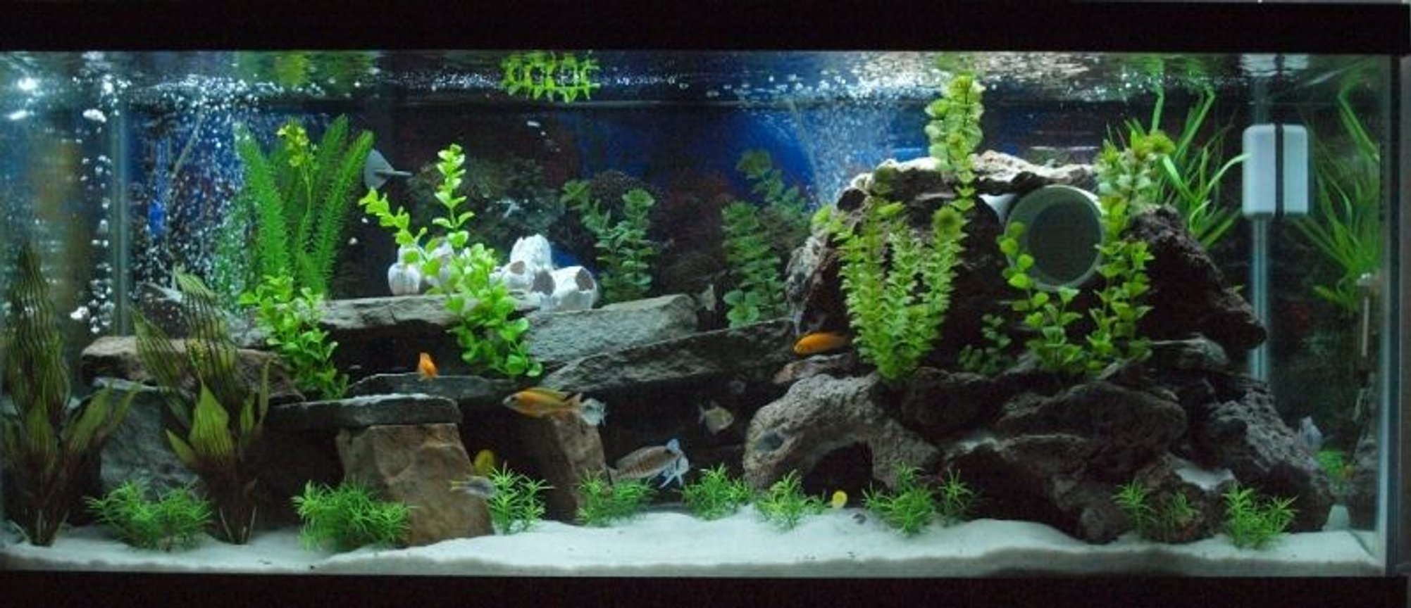 80 gallons freshwater fish tank (mostly fish and non-living decorations) - My Mixed African Cichlid Tank!!!
