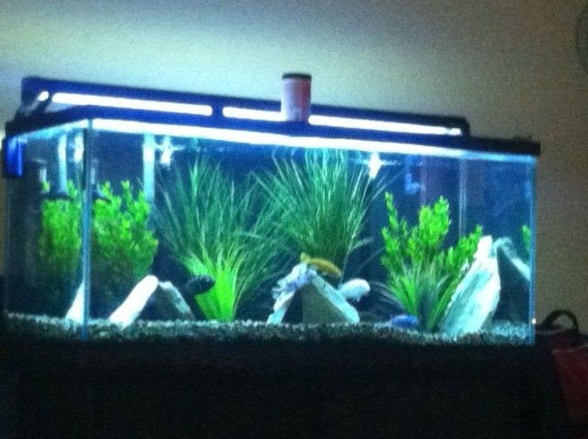 80 gallons freshwater fish tank (mostly fish and non-living decorations) - my cichlad tank sorry its not a clear pic