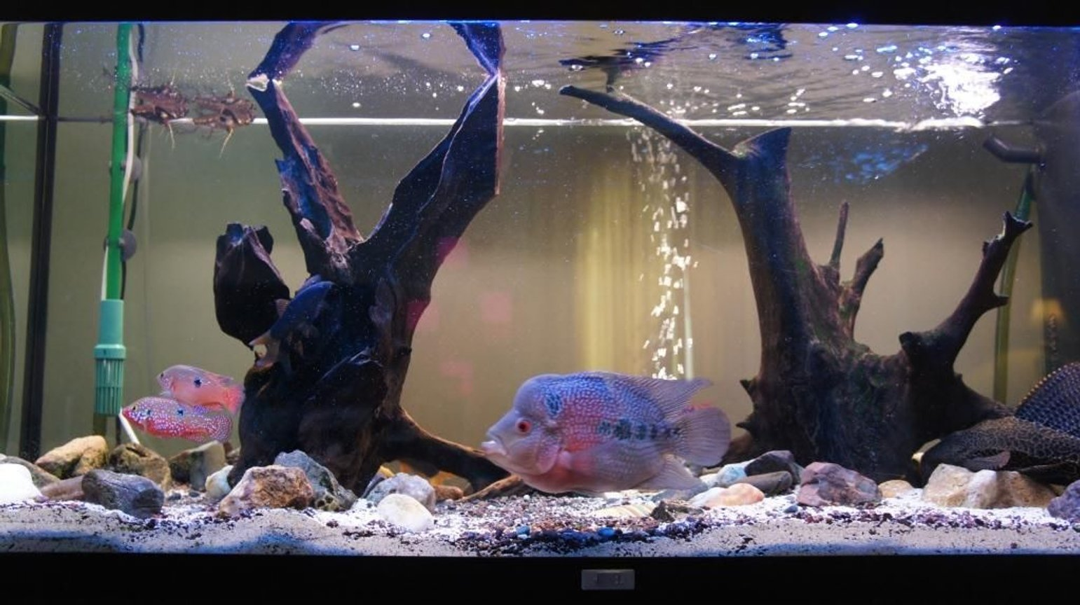 60 gallons freshwater fish tank (mostly fish and non-living decorations) - Our tank, with fish... there is our flowerhorn, a catfish, some butterfly fish, and some chiclid rams :) and a pleco!