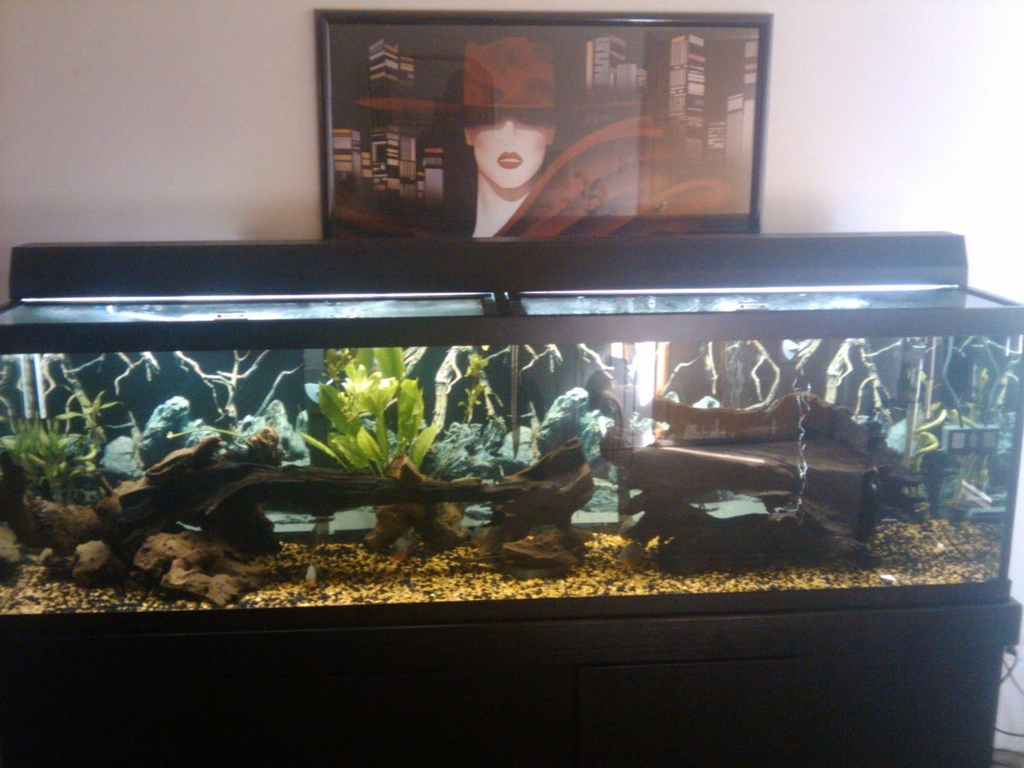 125 gallons freshwater fish tank (mostly fish and non-living decorations) - 125 gallon with 14 hybridpiranhas lots of large peice's of drif wood 1huge amazon sword.
