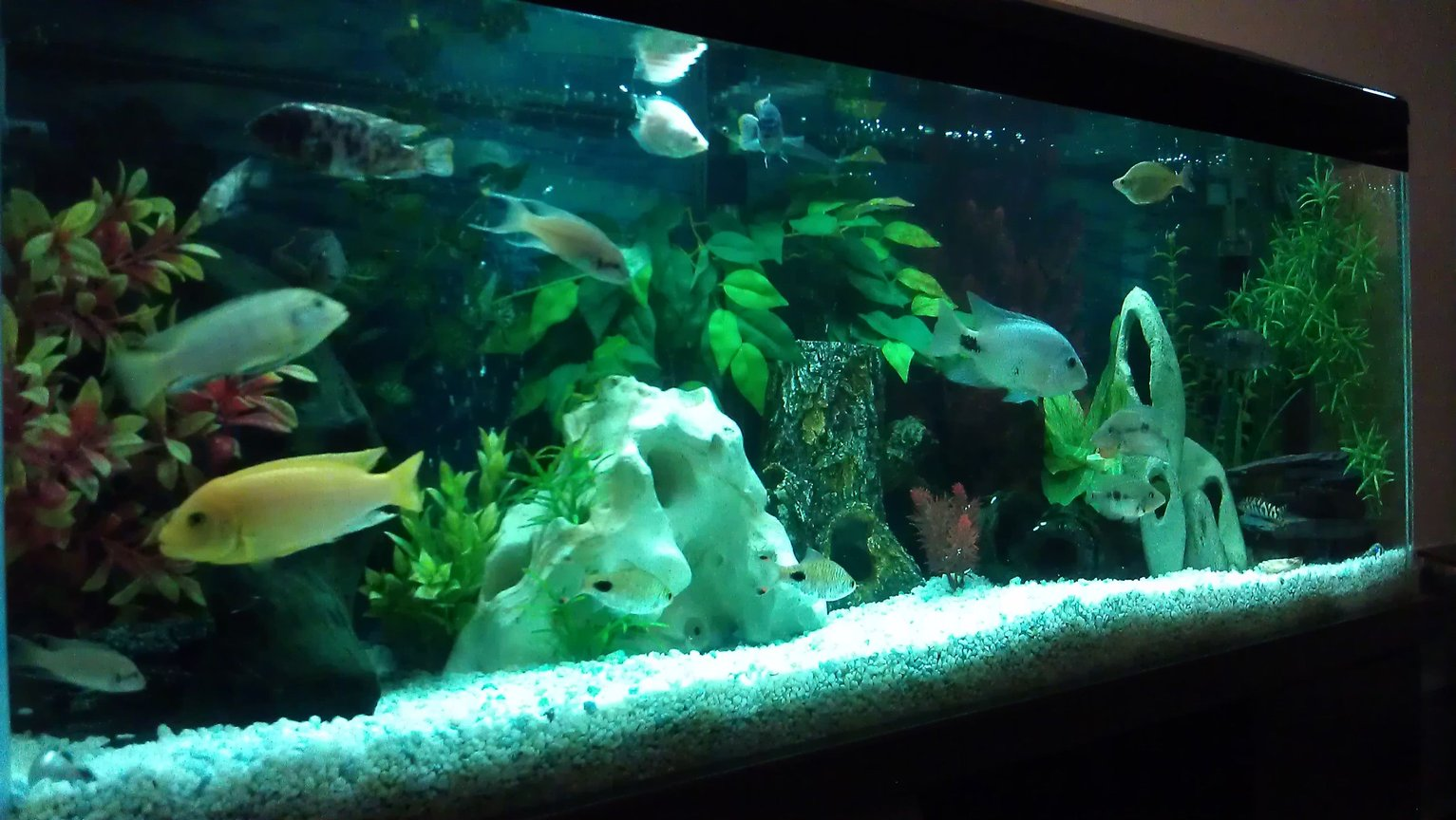 55 gallons freshwater fish tank (mostly fish and non-living decorations) - My cichlid tank after a good clean