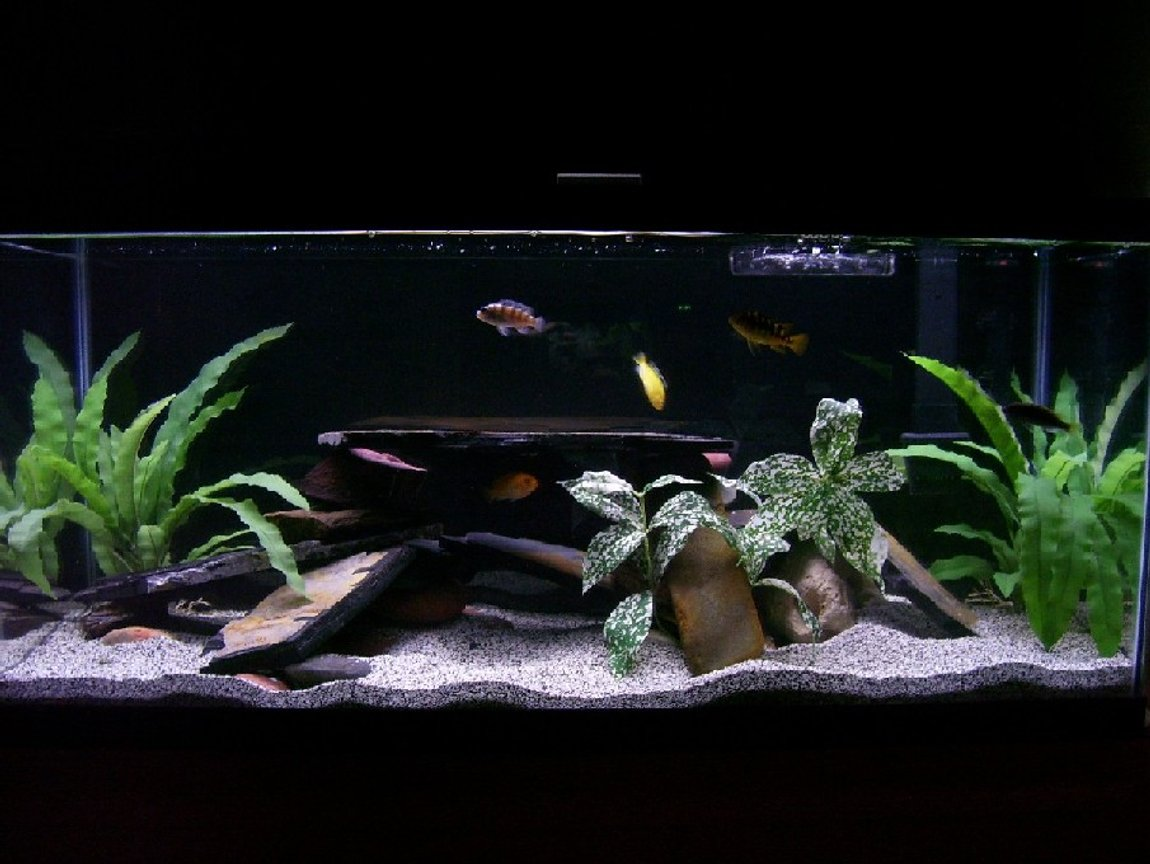 30 gallons freshwater fish tank (mostly fish and non-living decorations) - MY CICHLID TANK!?!