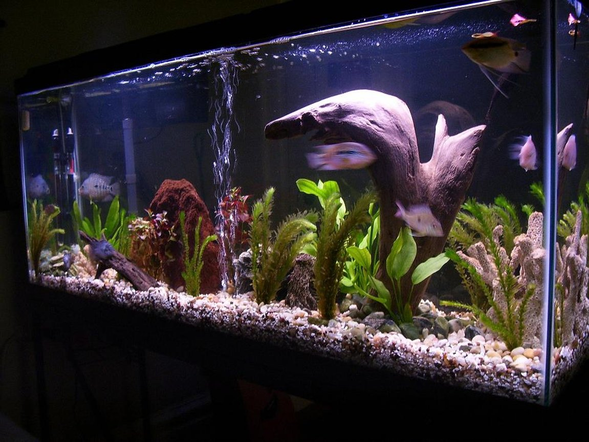 55 gallons freshwater fish tank (mostly fish and non-living decorations) - my 55 Gal. South American Cichlid tank.