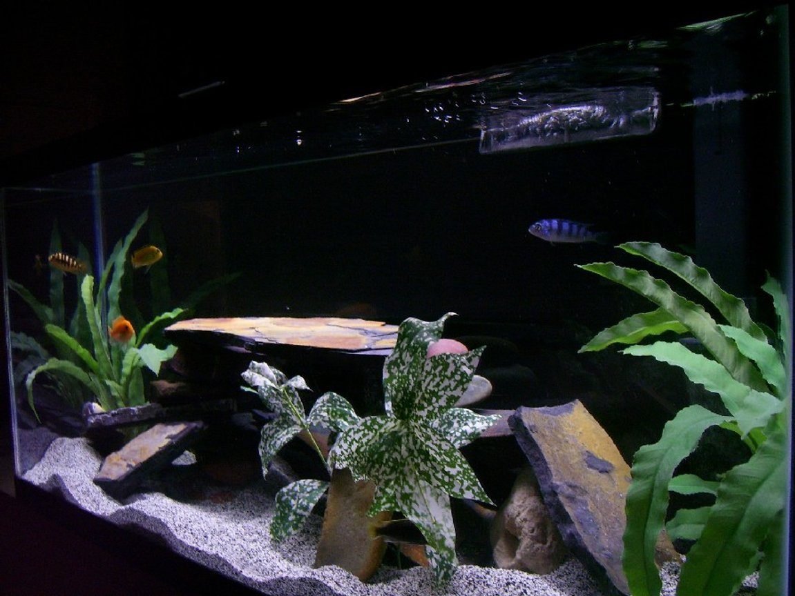 30 gallons freshwater fish tank (mostly fish and non-living decorations) - mY CiChlid TaNK!!