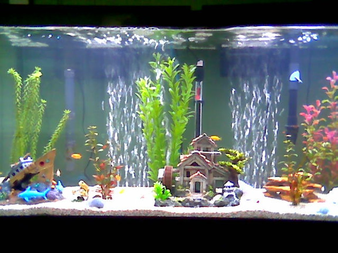 55 gallons freshwater fish tank (mostly fish and non-living decorations) - African Cichlid tank 55 gallon