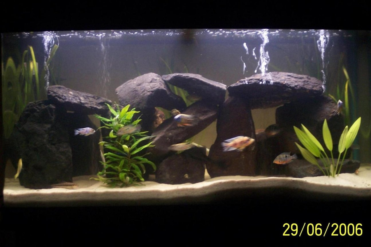 65 gallons freshwater fish tank (mostly fish and non-living decorations) - My Cichlids Tank, they r amazing fish to be kept , very interesting to be watched.