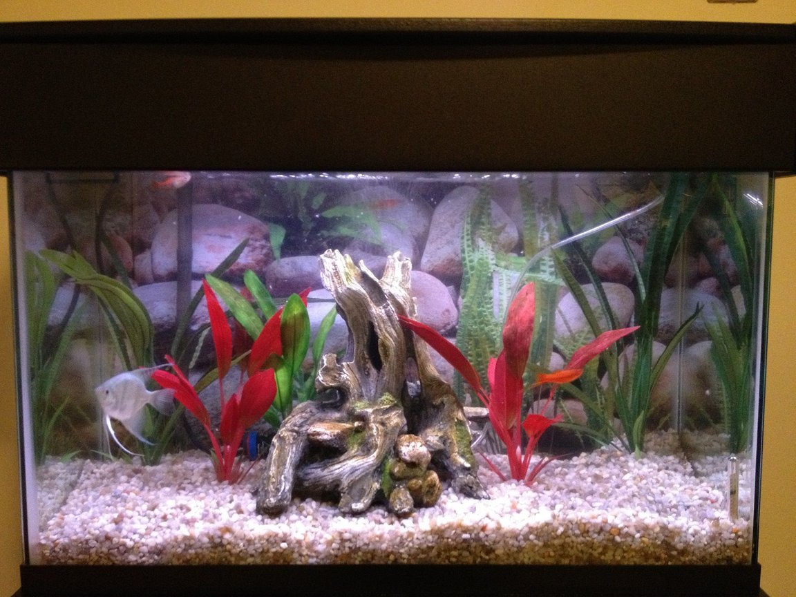 29 gallons freshwater fish tank (mostly fish and non-living decorations) - 29 gallon tank with an angelfish, 2 swordtails, glowlight tetras, and a melanistus corydora.