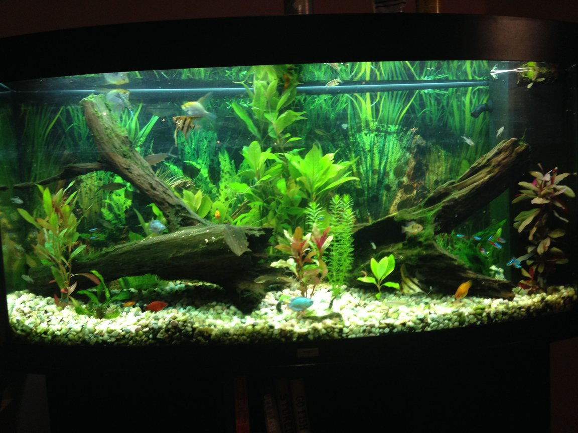 69 gallons freshwater fish tank (mostly fish and non-living decorations) - Community tank