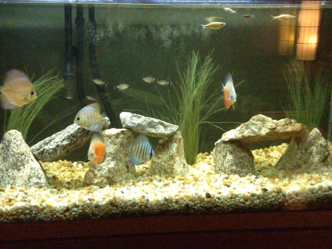 90 gallons freshwater fish tank (mostly fish and non-living decorations) - Discus