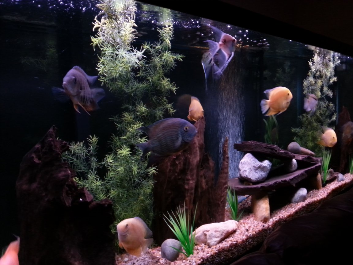 150 gallons freshwater fish tank (mostly fish and non-living decorations) - My severum tank.