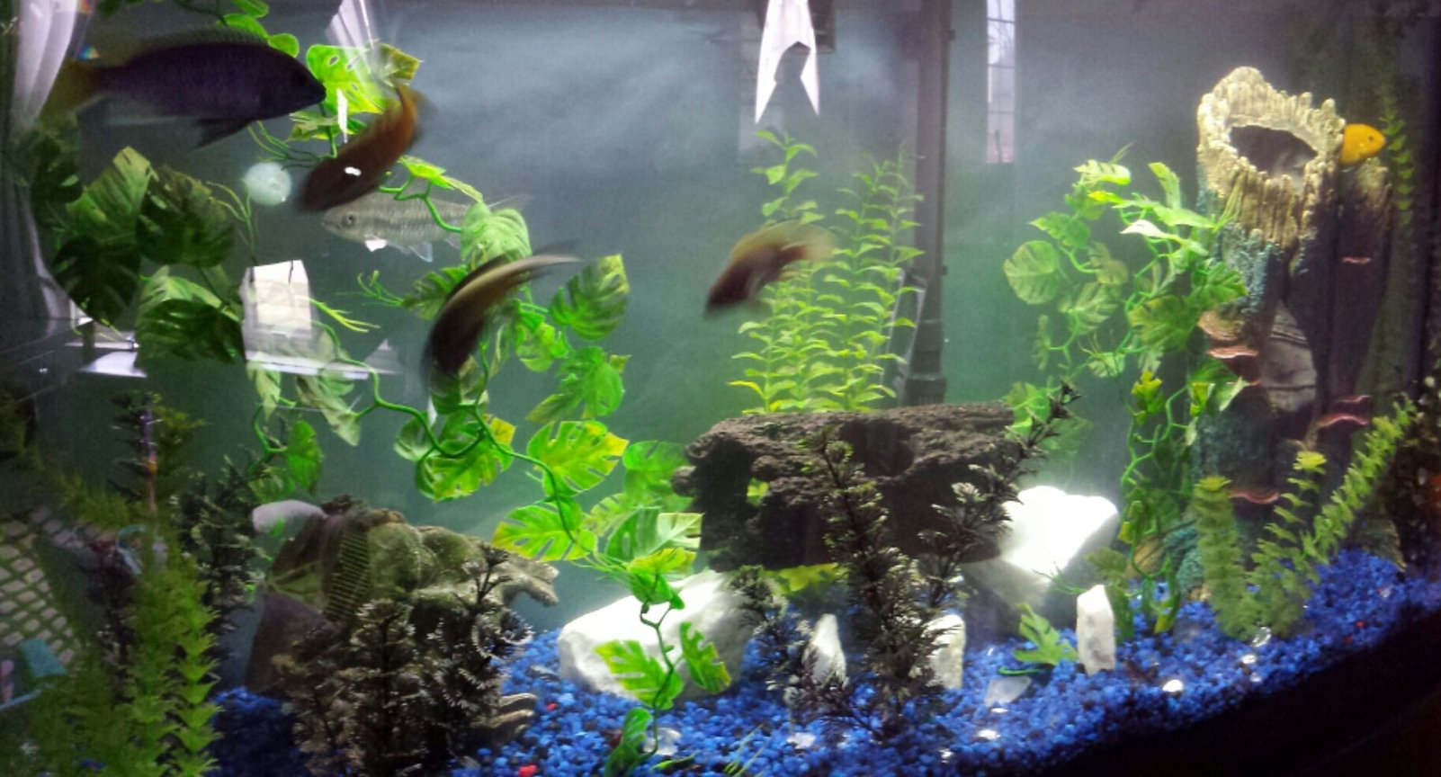 72 gallons freshwater fish tank (mostly fish and non-living decorations) - Aggressive fresh water