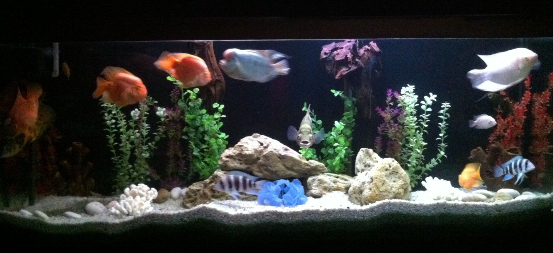 140 gallons freshwater fish tank (mostly fish and non-living decorations) - My fish tank...