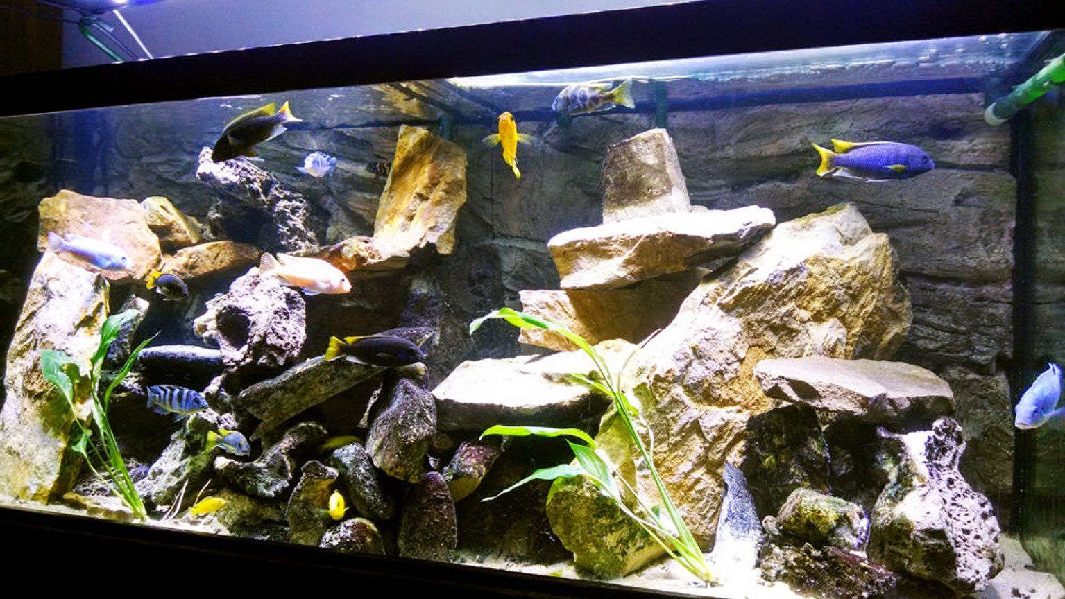 75 gallons freshwater fish tank (mostly fish and non-living decorations) - Lake Malawi Cichlids. 75 gallon All-Glass aquarium with an Eheim Ecco canister filter and an Eheim Wet/Dry canister filter. Lighting is a Deep Blue Professional SolarFlare DX LED. ATG 3d rock wall background. Rockscapes are all natural stone...mostly sand stone and lace rock.