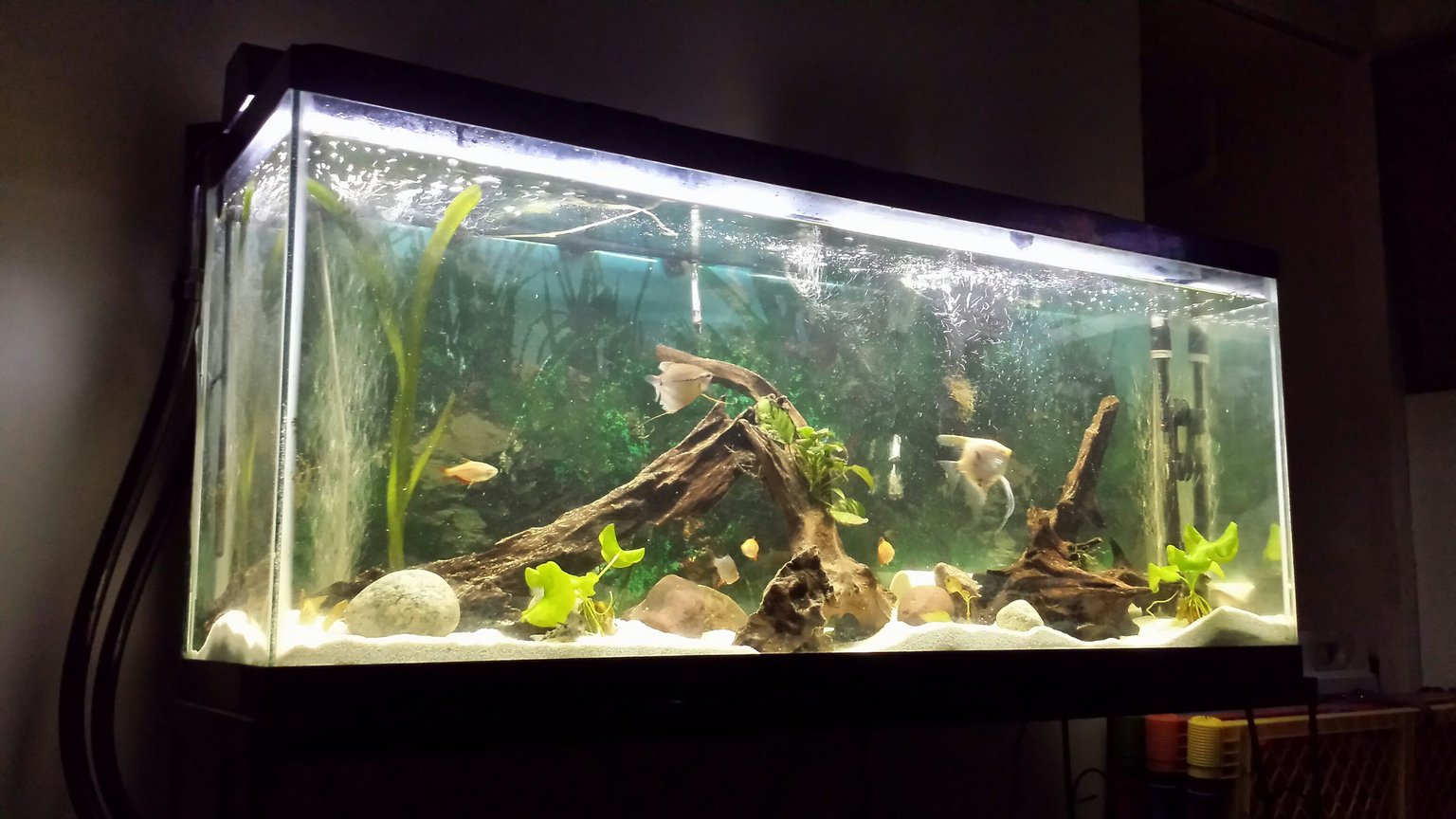 55 gallons freshwater fish tank (mostly fish and non-living decorations) - This one shows its true beauty.hope you guys appreciate it as much as I.