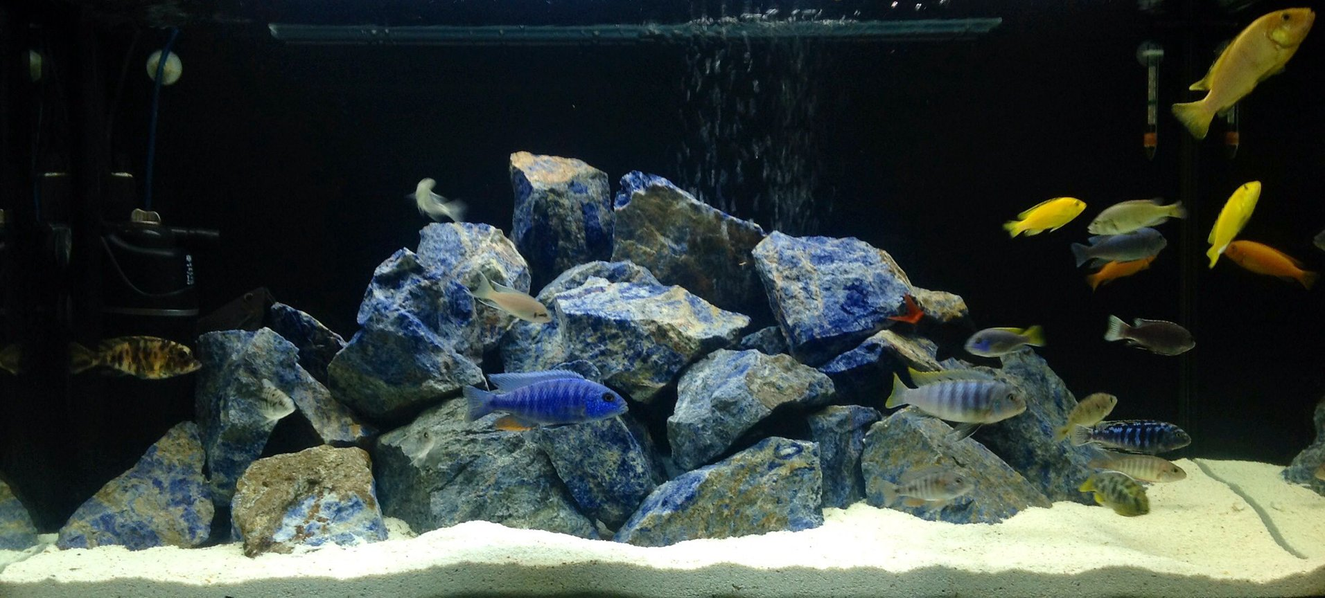 100 gallons freshwater fish tank (mostly fish and non-living decorations) - Cichlid tank