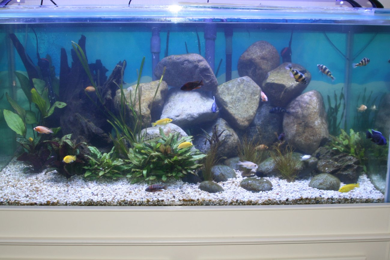 100 gallons freshwater fish tank (mostly fish and non-living decorations) - My first freshwater tank at 8 weeks