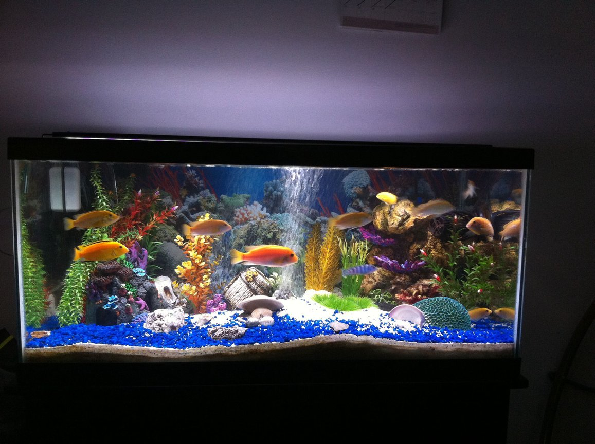 40 gallons freshwater fish tank (mostly fish and non-living decorations) - Fresh water cichlids