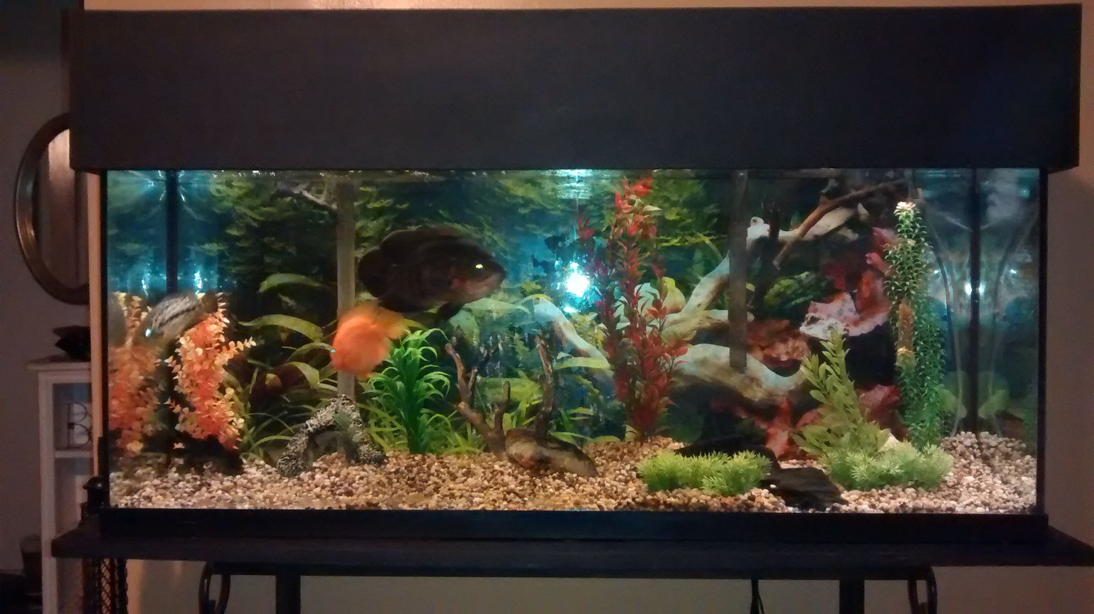 55 gallons freshwater fish tank (mostly fish and non-living decorations) - 55 gallon with Oscar, managuense, parrot cichlid.