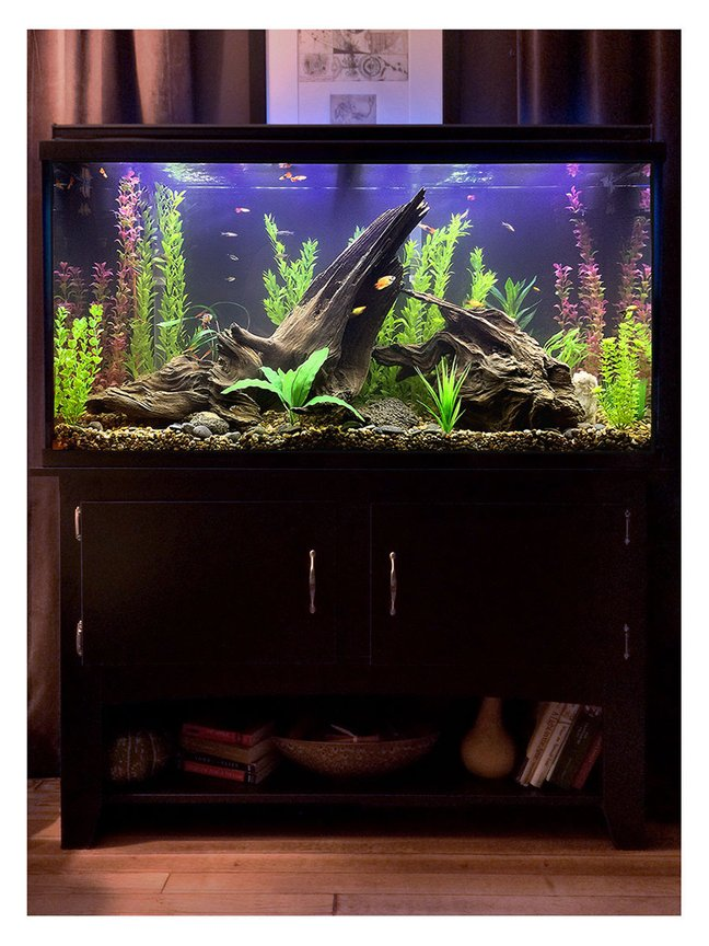 60 gallons freshwater fish tank (mostly fish and non-living decorations) - After umpteen trips to various stores for lighting, plants, fish and such, plus equally umpteen deliveries from Amazon for hardware, test kits, etc., this is where I am right now with my new tank. I wanted to create a possible scene from a lake bed in which the fish will have plenty of hiding places and hopefully feel at ease, with their comfort being my first priority, but I tried to balance that with a sort of purposely unkempt/wild look to everything (without looking like no thought was given to it, which I found is harder to do than it sounds), even though I used all artificial plants (but everything else is real, including the driftwood, riverbed gravel and rocks). It's still cycling just a bit, so it's a little cloudy, but I figured it's clear enough to show enough detail to go ahead and grab a picture of it. Visible in this one are a flame dwarf gourami, some kind of yellow-and-black-and-orange platy that I think might be pregnant, another yellow-and-orange platy, two Bolivians rams, several zebra danios, neon black tetras, a baby rainbow fish, a couple of mollies and some guppies. I have no idea where the hillstream loach is, though, but he's still in there somewhere. :)