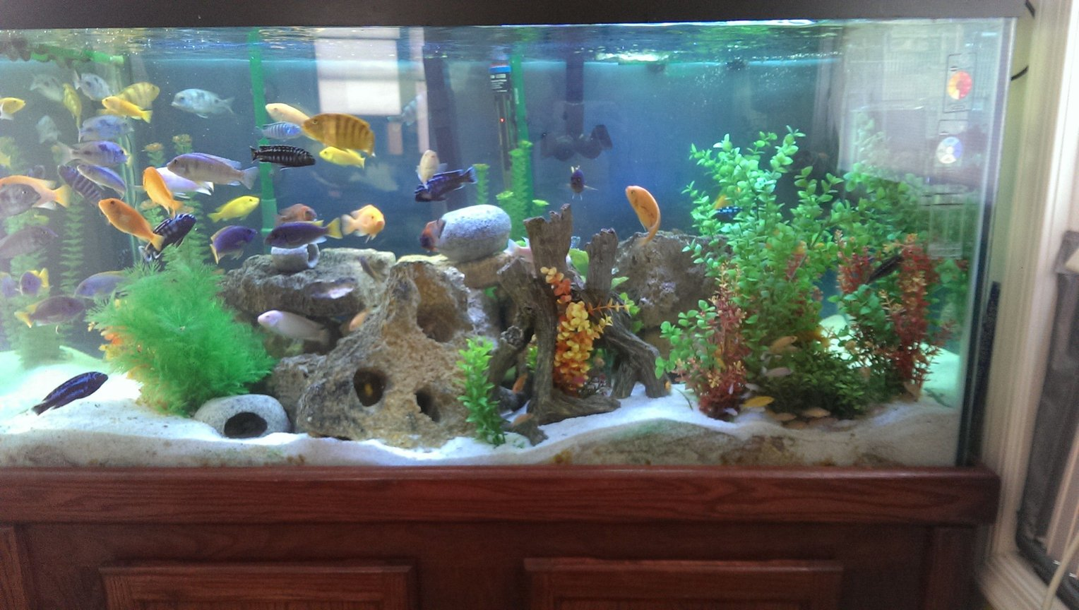 120 gallons freshwater fish tank (mostly fish and non-living decorations) - Assortment of African Cichlids - All from Lake Malawi