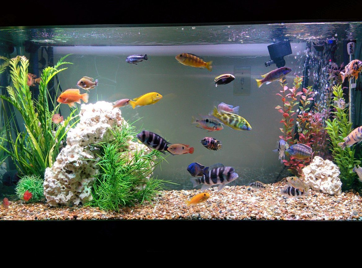 90 gallons freshwater fish tank (mostly fish and non-living decorations) - Cichlids n such