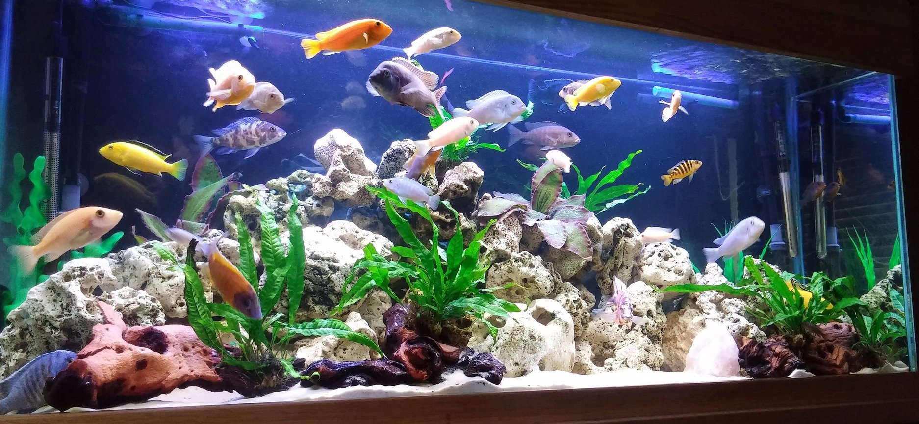 80 gallons freshwater fish tank (mostly fish and non-living decorations) - First Cichlid setup