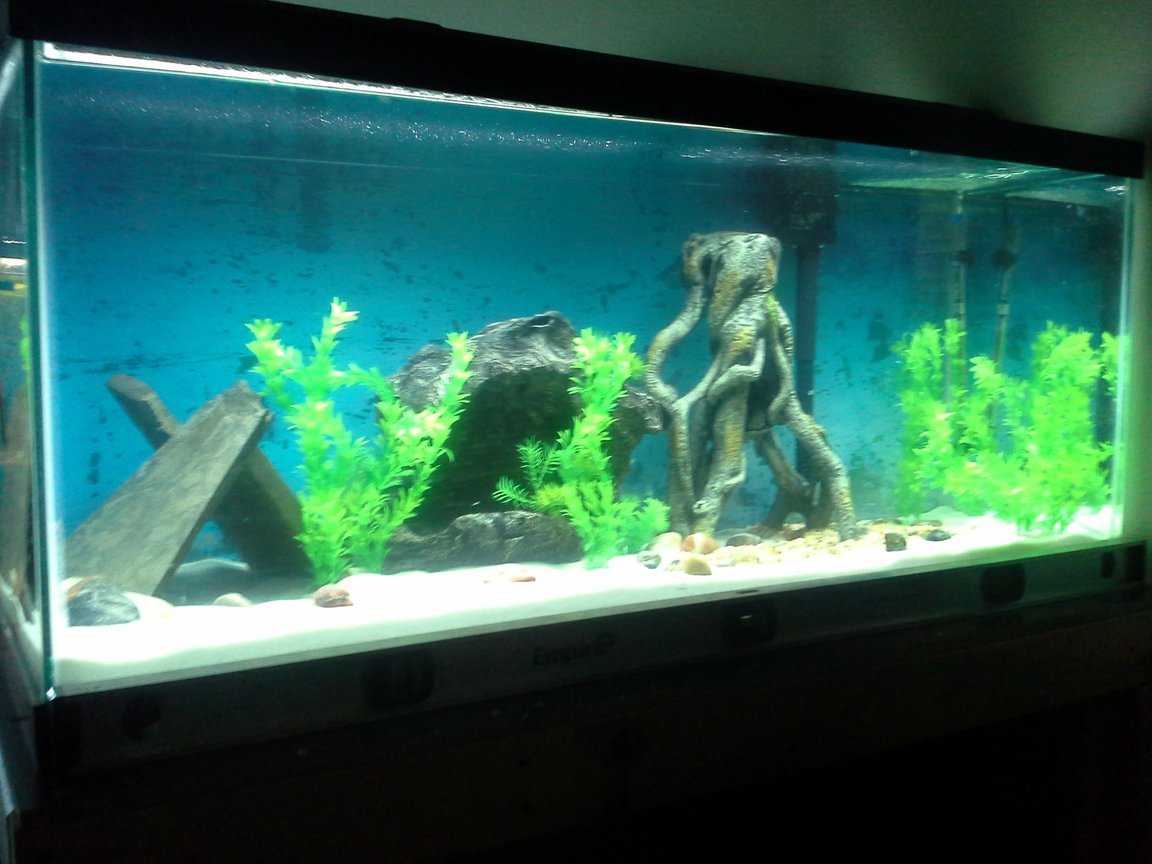 "75 gallons freshwater fish tank (mostly fish and non-living decorations) - 2 8"" bala sharks, 1 8"" tinfoil barb, 1 6"" redtail shark, 2 pictus cats (one 5"", one 4"") 7 tiger barbs (3 albino)"