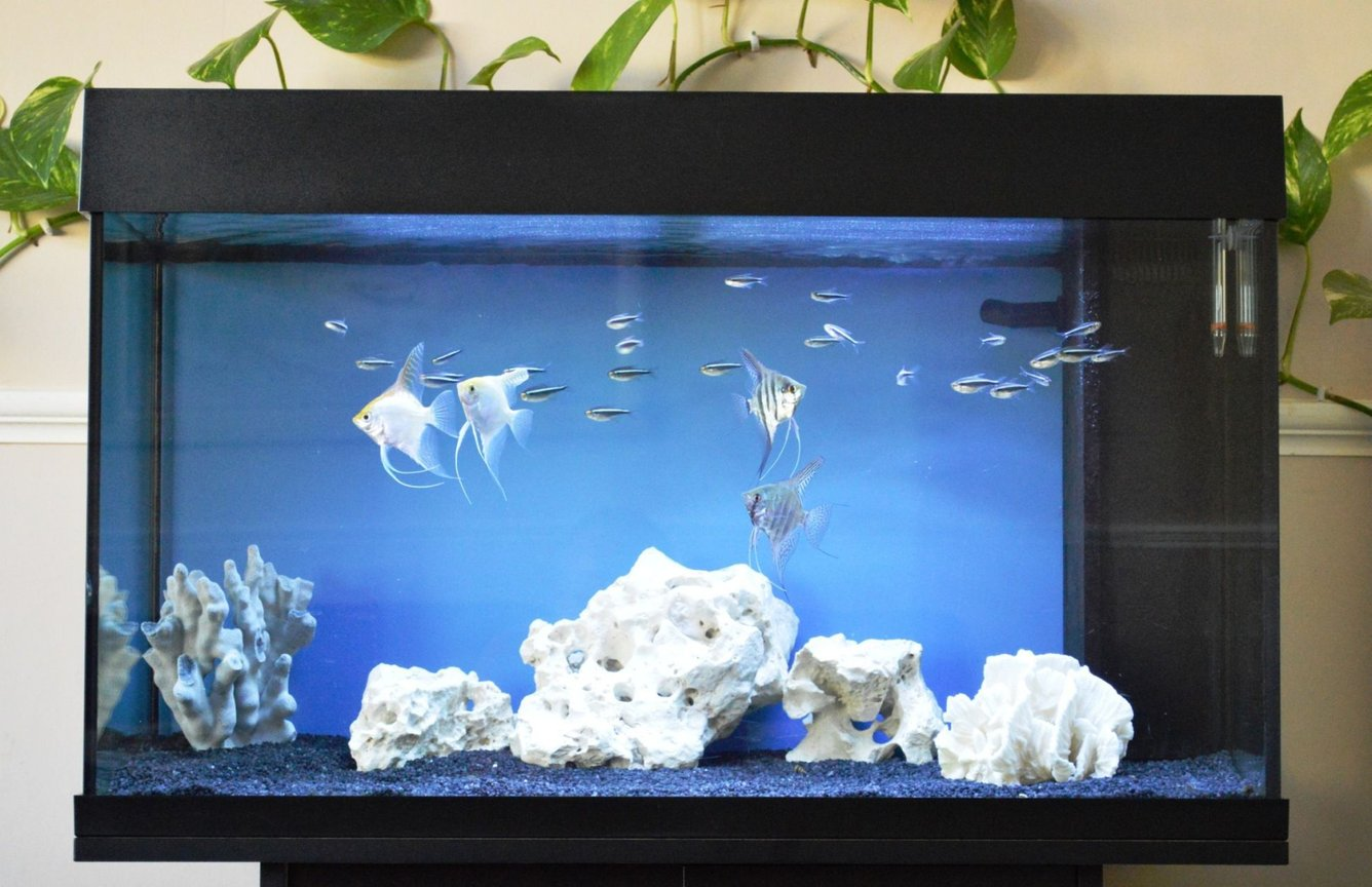 33 gallons freshwater fish tank (mostly fish and non-living decorations) - Angels and black neons
