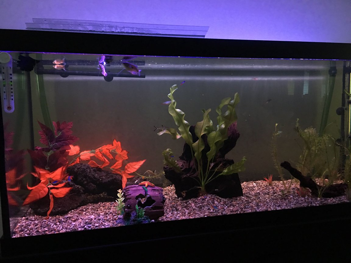 75 gallons freshwater fish tank (mostly fish and non-living decorations) - Week two or three of my first 75 gallon tank