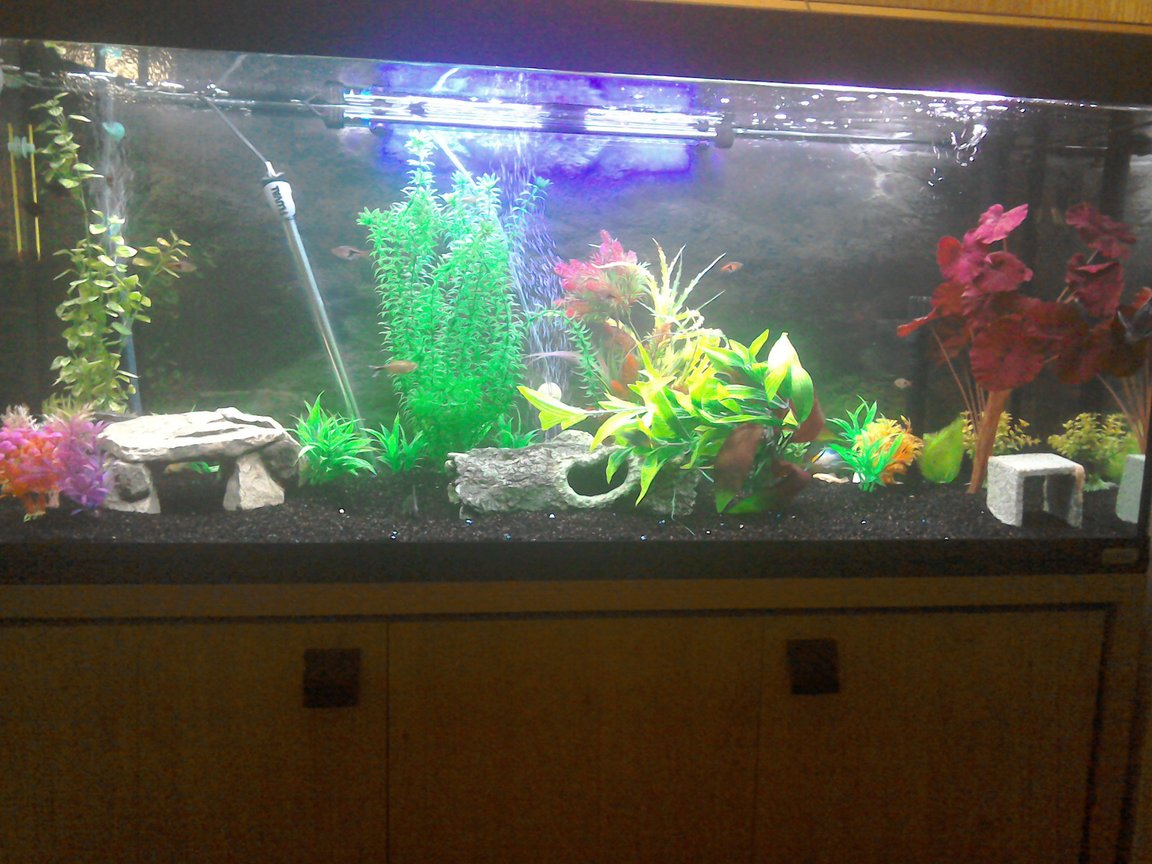 55 gallons freshwater fish tank (mostly fish and non-living decorations) - A few shots of my 4 ft fluval Roma.