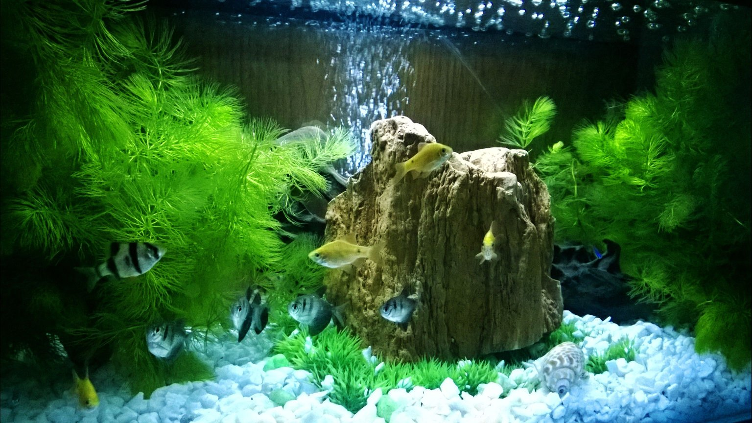 15 gallons freshwater fish tank (mostly fish and non-living decorations) - 1st photo of My little fish tank..