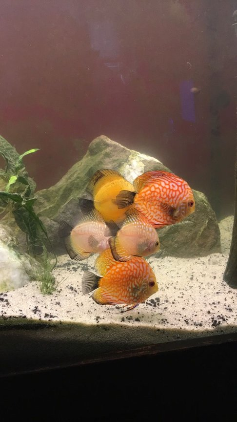 110 gallons freshwater fish tank (mostly fish and non-living decorations) - 110 gallon discus tank