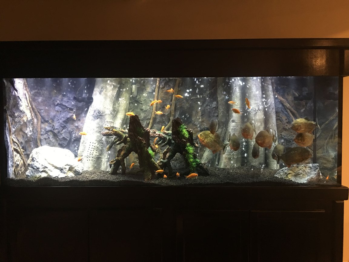 150 gallons freshwater fish tank (mostly fish and non-living decorations) - 11 Red Belly Piranhas 150 Gallon Tank Background from AquaDecor