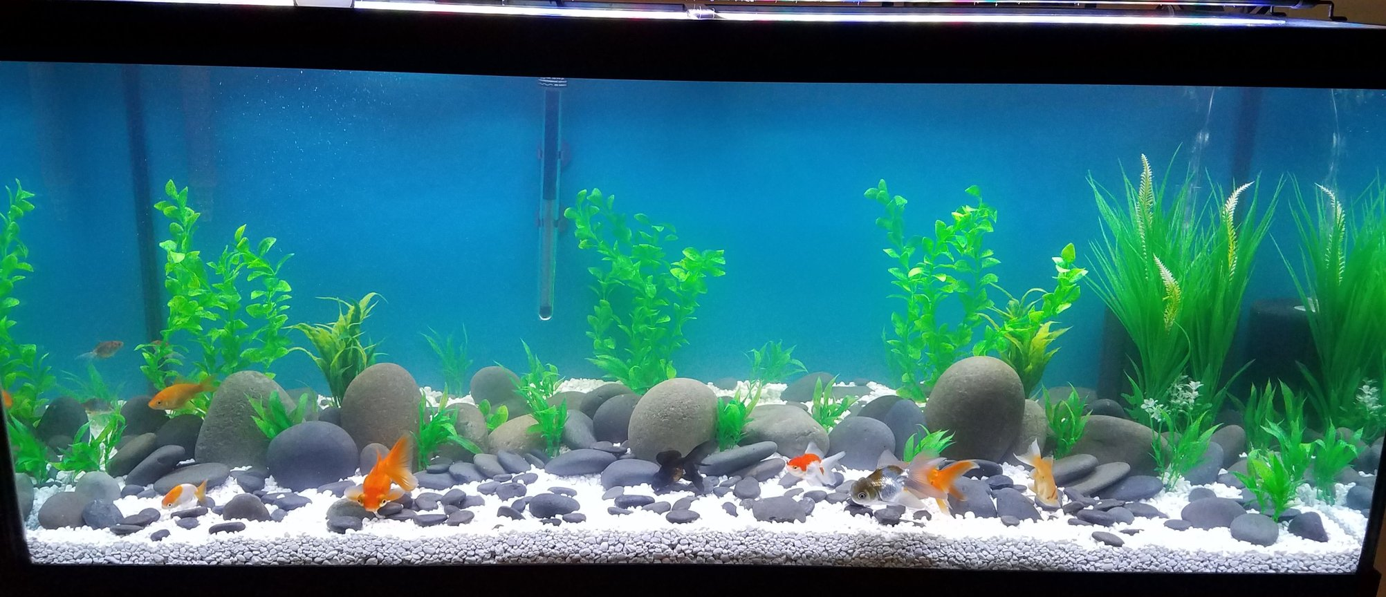 75 gallons freshwater fish tank (mostly fish and non-living decorations) - Goldie tank