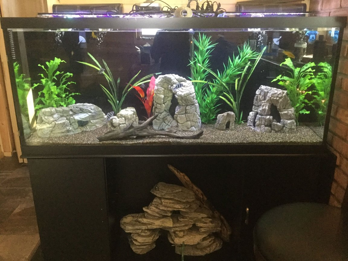 125 gallons freshwater fish tank (mostly fish and non-living decorations) - Frontosa, mix of cichlids, royal pleco, non living plants. decor rocks, and drift wood, brown gravel, Marine filters