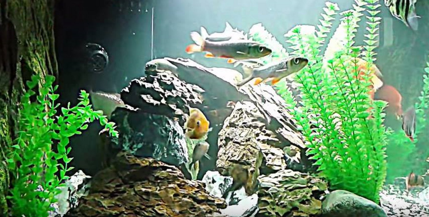 120 gallons freshwater fish tank (mostly fish and non-living decorations) - Large fish in a lake scenery