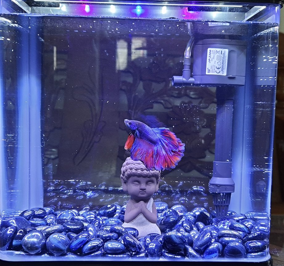 2 gallons freshwater fish tank (mostly fish and non-living decorations) - Budha Themed Betta Tank