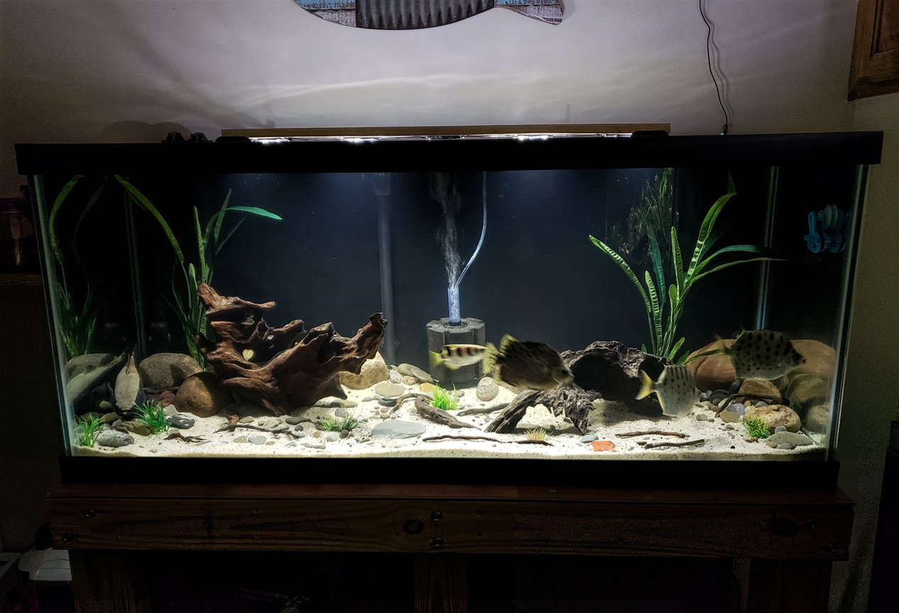 40 gallons freshwater fish tank (mostly fish and non-living decorations) - 75g Brackish tank stocked with silver scats, green scat, archer and a spotted sleeper goby.