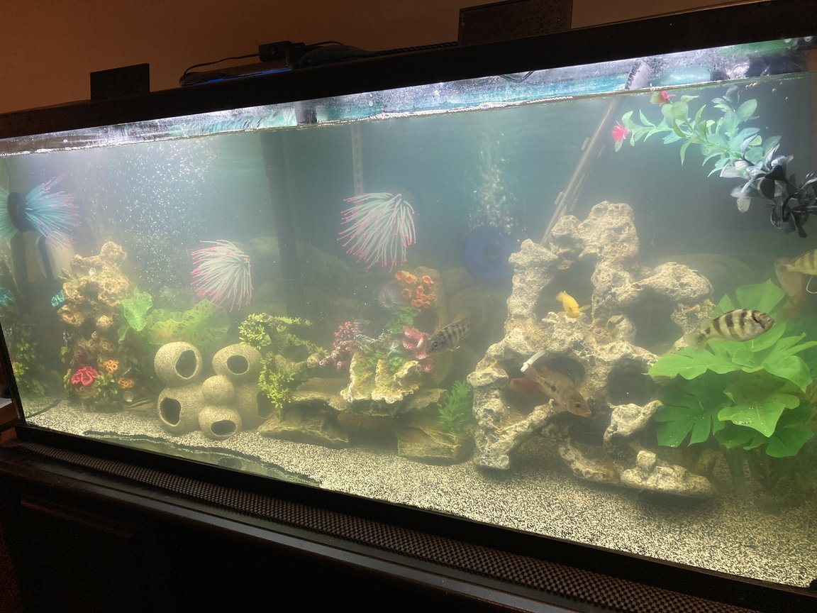 55 gallons freshwater fish tank (mostly fish and non-living decorations) - Assorted African Cichlids diy 3D decor background