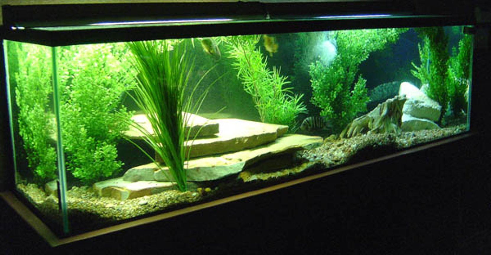 130 gallons freshwater fish tank (mostly fish and non-living decorations) - My 130 gallon tank.