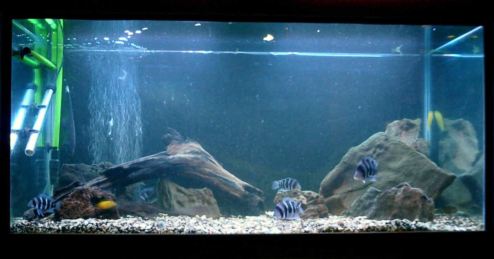 125 gallons freshwater fish tank (mostly fish and non-living decorations) - 125 G Frontosa tank