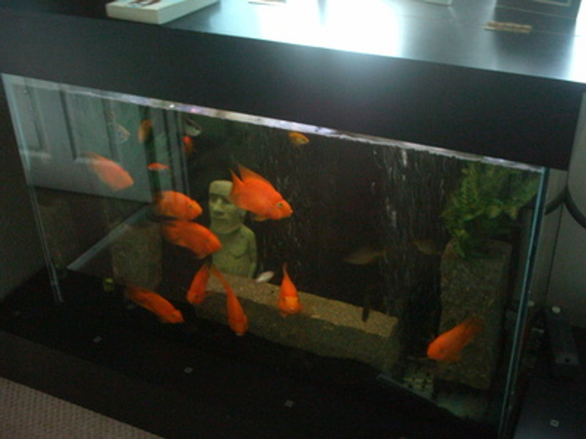 66 gallons freshwater fish tank (mostly fish and non-living decorations) - My nine large Parrot Cichlids