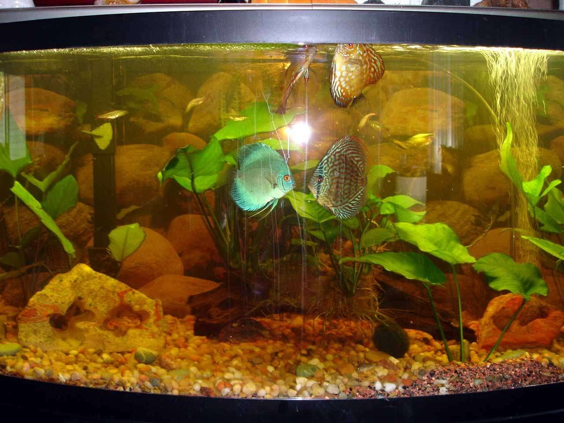 72 gallons freshwater fish tank (mostly fish and non-living decorations) - 72 inch 6 Discus