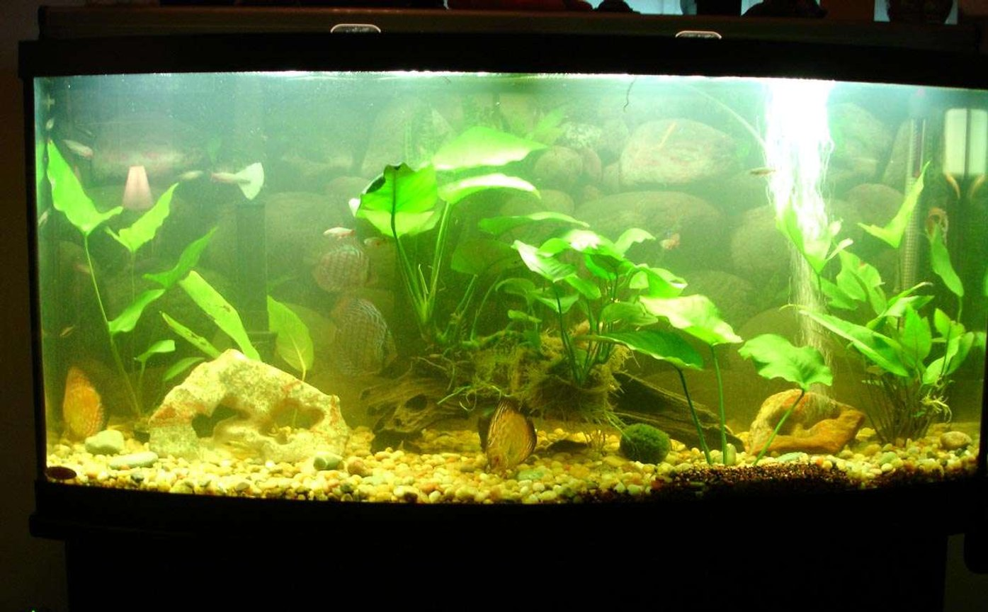 72 gallons freshwater fish tank (mostly fish and non-living decorations) - 6 Discus in a 72 Gallon Tank