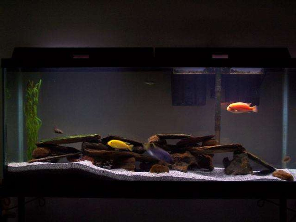 55 gallons freshwater fish tank (mostly fish and non-living decorations) - My 55gal assorted Malawi cichlid tank. Also 2 plecos, 2 danias, and botia.